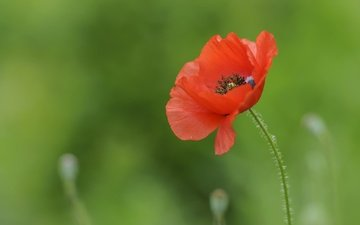nature, flower, petals, red, mac, stem