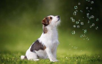 трава, собака, мыльные пузыри, джек-рассел-терьер