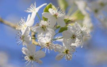 цветы, цветение, лепестки, сад, весна