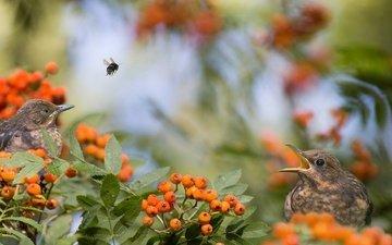 природа, ветки, птицы, ягоды, пчела, рябина