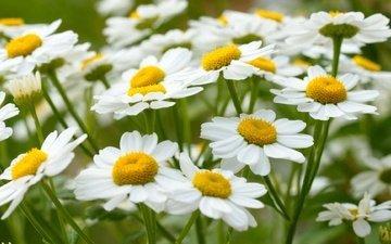 цветы, макро, лето, ромашки, белая