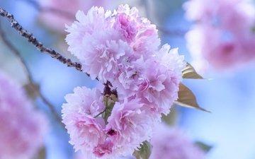 цветение, лепестки, сад, весна, сакура