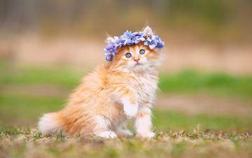 цветы, кошка, котенок, пушистый, рыжий, венок