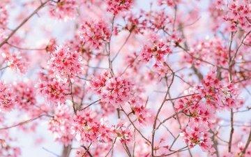 цветение, сад, весна
