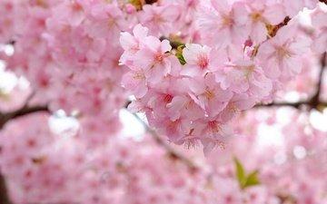 дерево, цветение, ветки, весна, вишня, сакура