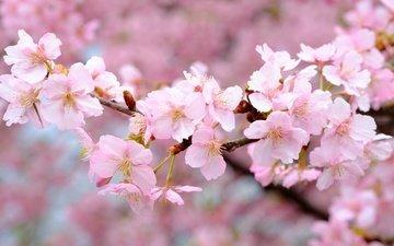 цветы, цветение, ветки, весна, розовые, вишня, сакура