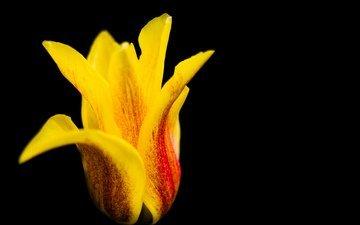 макро, цветок, лепестки, тюльпан, красочный, alistair dent