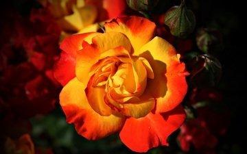 макро, цветок, розы, роза, красочный, avantrend, красочный . макро
