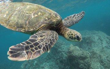 море, черепаха, океан, животное, кораллы, jeremy bishop, подводный мир