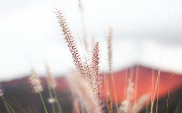 трава, природа, макро, колоски, растение, jeremy bishop