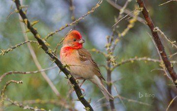 природа, ветви, птица, чечевица, carpodacus, обыкновенная чечевица