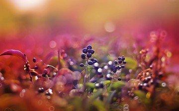 природа, листья, макро, размытость, ягоды, плоды