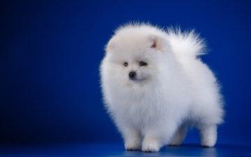 белый, собака, щенок, шпиц