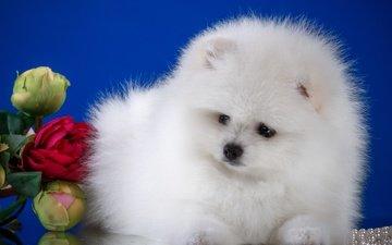 цветы, пушистый, белый, собака, щенок, шпиц
