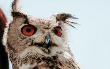 природа, птица, животное, филин, оперение, massimo mancin
