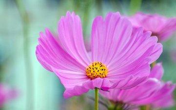 макро, цветок, космея