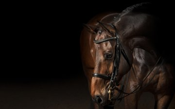 horse, animals, black background