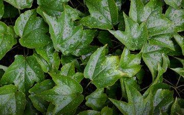 вода, листья, капли, зеленые, мокрые