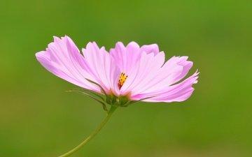 цветок, розовый, боке, космея