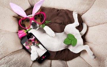 поза, роза, очки, собака, лежит, юмор, телефон, уши, сердечки, джек-рассел-терьер