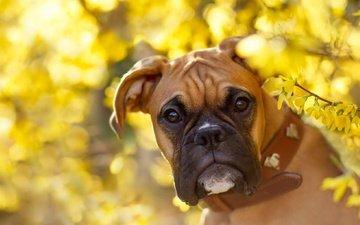 природа, взгляд, собака, боксер