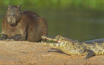 крокодил, животно е, copybara, капибара, capybara