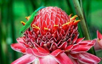 макро, цветок, ящерица, геккон, этлингера