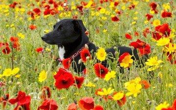 цветы, поле, собака, маки, мак