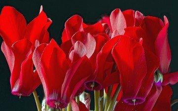 цветы, макро, красные, цикламен
