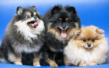собаки, забавные, трио, шпиц