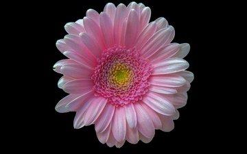 макро, фон, цветок, розовый, гербера