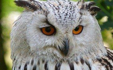 глаза, сова, взгляд, птица, животное, филин, peterkraayvanger