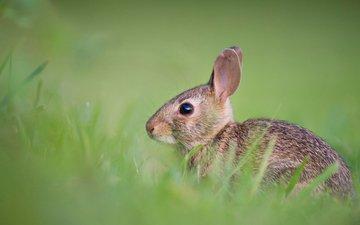 трава, животные, поле, пушистый, кролик, мех, заяц, боке, милый, ray hennessy