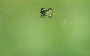 eyes, water, reflection, animals, frog, amphibians, ray hennessy