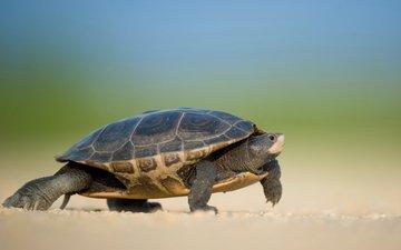 animals, turtle, walk, bokeh, amphibians, ray hennessy