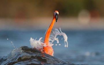 вода, море, фламинго, размытость, птица, животное, шея, ray hennessy