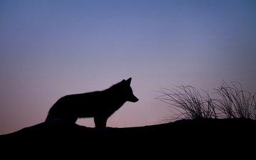 небо, трава, животные, силуэт, тени, волк, ray hennessy