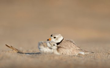 chick, animals, birds, beak, love, feathers, bokeh, ray hennessy, small plover
