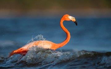 вода, волны, животные, фламинго, птица, клюв, перья, всплеск, рябь, ray hennessy