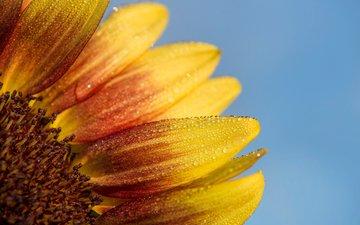 макро, цветок, капли, лепестки, подсолнух, ray hennessy