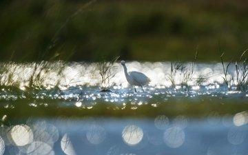 трава, озеро, рассвет, птица, животное, холодно, лебедь, ray hennessy