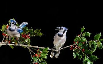ветка, листья, птицы, клюв, ягоды, сойка, голубая сойка, ray hennessy
