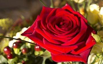 макро, роза, красная, бутон, алая