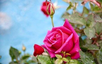 buds, leaves, flower, rose, bud