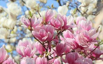цветы, природа, весна, розовые, белые, магнолия