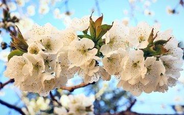 цветы, цветение, весна, вишня