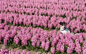 цветы, собака, гиацинты, джек-рассел-терьер