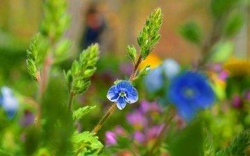 цветок, лепестки, голубой, стебли, боке, вероника
