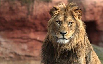 царь, лев, зверь