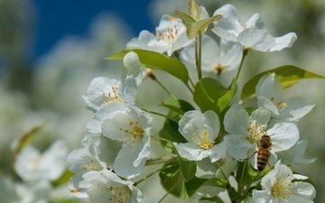 дерево, цветение, насекомое, весна, пчела